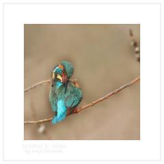 Kingfisher (moments in nature by Antje Schultner) Tags: kingfisher eisvogel vogel bird wildlife deutschland enzkreis germany badenwürttemberg martinpêcheur