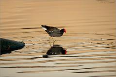 Common Gallinule (soupie1441) Tags: puntacana gallinule moorhen bird animal nature wildlife dominicanrepublic reflection water nikon d750 200500mm