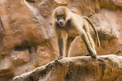 Baboon (Synghan) Tags: baboon baboons primate monkey macaque animal ape mammal oldworldmonkeys papio cercopithecinae nature zoo singapore singaporezoo magnified telephoto nose longnose photography horizontal outdoor colourimage fragility freshness nopeople foregroundfocus adjustment interesting awe wonder fulllength depthoffield vivid sharpness head frontview playing tranquility peace travel canon eos80d 80d tamron 18270mm f3563 개코원숭이 원숭이 동물 바분 싱가포르 동물원