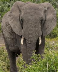 DSC08896 (Paddy-NX) Tags: 2019 20190109 addoelephantnationalpark africa elephant sony sonya77ii sonyalpha sonyalphaa77ii sonysal70300g southafrica wildlife