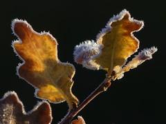 Autumn Frost (ukstormchaser (A.k.a The Bug Whisperer)) Tags: autumn frost leaf leaves uk milton keynes morning tree trees oak frosty autumnal season seasonal macro