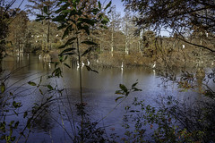 Stumpy Lake, Virginia Beach (erhewitt50) Tags: stumpy lake stumpylake virginiabeach autumn egrets