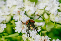 2017 Japanese Beetle (Popilla japonica) (DrLensCap) Tags: japanese beetle popilla japonica weber spur trail labagh woods chicago illinois abandoned union pacific railroad right way il bug insect rails to trails cook county forest preserve district preserves robert kramer
