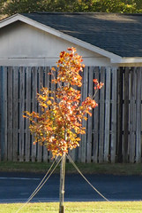 Young Tree, Autumn Leaves. (dccradio) Tags: lumberton nc northcarolina robesoncounty outdoor outdoors outside nature natural tree trees branch branches treebranch treebranches treelimb treelimbs friday fridaymorning morning goodmorning autumn fall november shed building architecture fence wooden wood woodfence woodenfence paved parking parkinglot pavement leaf leaves autumnleaves fallleaves autumncolors fallcolors young youngtree grass lawn greenery yard ground canon powershot elph 520hs