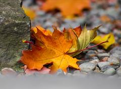 On the Rocks. (Omygodtom) Tags: season abstract autumn leaves bright red outside orange scene scenery macro bokeh dof digital 7dwf street usgs nova
