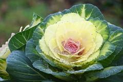Autumn colors (Tery14) Tags: decorativecabbage colorful plant yellow green smileonsaturday ornamental kale flowering natureisanartist