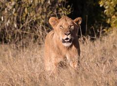 THATS CLOSE ENOUGH (gazza294) Tags: lion africa kenya masaimara flicker flickr flckr flkr flickrexplore explore gazza294 garymargetts wildlife wildlifemagazine wildlifephotographer wildlifephotography nationalgeographic nature naturetrek