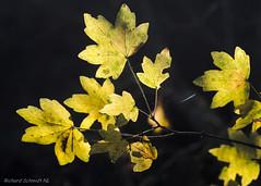 _D552806 (De Hollena) Tags: autumn autumnleaves fall feuille herbst herfst herfstblad herfstkleuren leaf otoño herbstfarbe ahorn esdoorn acer maple