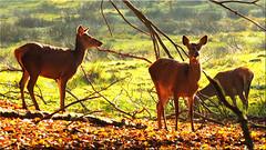 Deer in autumn (Ostseetroll) Tags: deu deutschland geo:lat=5395205433 geo:lon=1003103043 geotagged schleswigholstein weide wildparkeekholt hirsche herbst deer autumn olympus em5markii