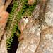 Grey-brown Mouse Lemur (Microcebus griseorufus)