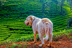 Sentinel (Aiel) Tags: sunvalleyhomestay sunvalley coonoor ooty udhagamandalam dog canine tea teaestate morning labrador canon60d
