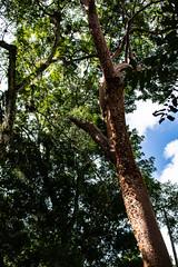 Guatemala, Tikal (keeswoestenenk2) Tags: 2018 boom guatemala jaar natuur plaats tikal