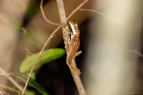 Gunther's Flat-tail Gecko (Uroplatus guentheri)