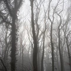 it's fog time (vertblu) Tags: fog foggy fogandmist heavyfog densefog mist misty trees treesinmist wintertrees baretrees baretwigs ivy subduedcolours mutedcolours nobw forest woodland woods layers layered layering bsquare 500x500 vertblu lookingup inthewoods intothewoods