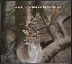 Christmas Stag (saundersfay) Tags:
