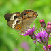 Common Buckeye on purple ironweed