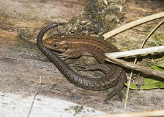 Common Lizard (wayne.withers1970) Tags: small pretty lizard color colorful nature natural colour colourful wild wildlife wales flickr dof bokeh naturephotography country countryside outside outdoors alive fauna flora canon sigma light blur black white brown green fine tree trees dark animal wwt llanelli plant vegetation wood autumn