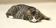 Wanna play? (Kerri Lee Smith) Tags: felines tabbies tabby boarders boardingcats happycaturday tabbycats tabbykitties kitties 21816 22816 pc