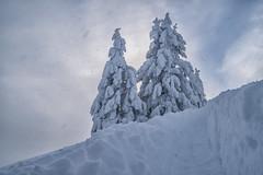 Eingeschneite Fichten und eine Aufstiegsspur (stefangruber82) Tags: alps alpen winter tyrol tirol snow schnee bäume trees wind