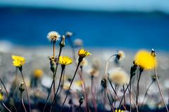 Flores (Nimbostratus97) Tags: flores flowers 50mmf18 playa beach