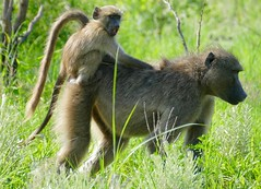 Chacma Baboons (Papio ursinus) female with young on its back ... (berniedup) Tags: chacmababoon papioursinus chacma baboon taxonomy:binomial=papioursinus pretoriuskop kruger