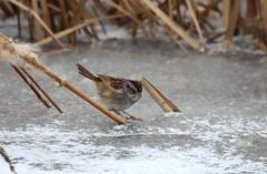 swamp sparrow (spear48834) Tags: missouri birds