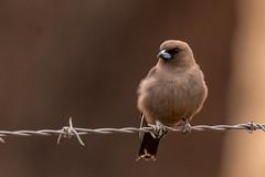 Dusky woodswallow (crispiks) Tags: duskywoodswallow birdlife animals chiltern north east victoria bartleys block mount pilot national park nikon d500 200500 f56