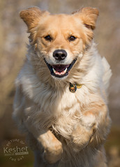 Picture of the Day (Keshet Kennels & Rescue) Tags: rescue kennel kennels adoption dog ottawa ontario canada keshet large breed dogs animal animals pet pets field nature photography golden retriever smile eye contact run jump soft cute sunny play