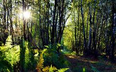 Seeing through/ Mirando a través (PURIFM) Tags: trees forest green nature árbol bosque naturaleza contraluz backlight sun light ngc nikon
