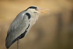 Yawn (Teruhide Tomori) Tags: nature bird wild kyoto japan japon 東寺 winter animal greyheron アオサギ 野鳥 moat toji 京都 冬 鳥 動物 野生 日本