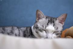 A9__DSC3125_C1 (Bazoka+Cynthia) Tags: cat 小婆 新北市 樹林區 空空 貓