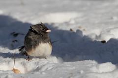 Junco (Explored 11/27/2018) (Lynn Tweedie) Tags: canon beak feathers 7dmarkii junco bird animal ice missouri eos sigma150600mmf563dgoshsm ngc snow