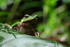 2J4A8089 (ajstone2548) Tags: 12月 樹蛙科 兩棲類 翡翠樹蛙