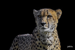 Cheetah (jt893x) Tags: 150600mm acinonyxjubatus cheetah d500 jt893x nikon nikond500 sigma sigma150600mmf563dgoshsms thesunshinegroup coth alittlebeauty coth5