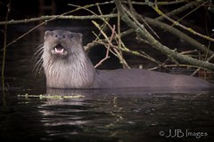 Otter in the wild. (JJB Images) Tags: otter carnivore beautiful canon canoneos6d countryside country canonef600mmf4islens england focus jjbimages kennetandavoncanal wiltsandberkscanal lumix nikon nature natural pewsey panasonic royalwoottonbassett swindon wiltshire wildlife wild free