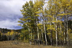 Upper Mill Creek Aspens (courtney_meier) Tags: colorado coloradorockies fall landscape populustremuloides rockymountainnationalpark rockymountains southernrockies usnationalpark aspens autumn clouds fallcolor forest highcountry highelevation mountains wilderness