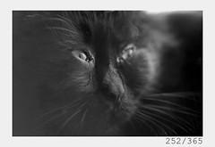 ox (Aljaž Anžič Tuna) Tags: cat catslife catportrait homecat blackcat gegenlight photo365 project365 portrait portraitunlimited onephotoaday onceaday 365 35mm 365challenge 365project eyes nikkor nice naturallight nikon nikon105mmf28 nikond700 105mmf28 f28 animal animalportrait dailyphoto d700 day dof bw blackandwhite black white blackwhite beautiful