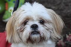 Shih Tzu #1 (MJ Harbey) Tags: pet dog shihtzu chineseliondog chrysanthemumdog animalia mammal bedfordshire aspleywood woburn nikon d3300 nikond3300