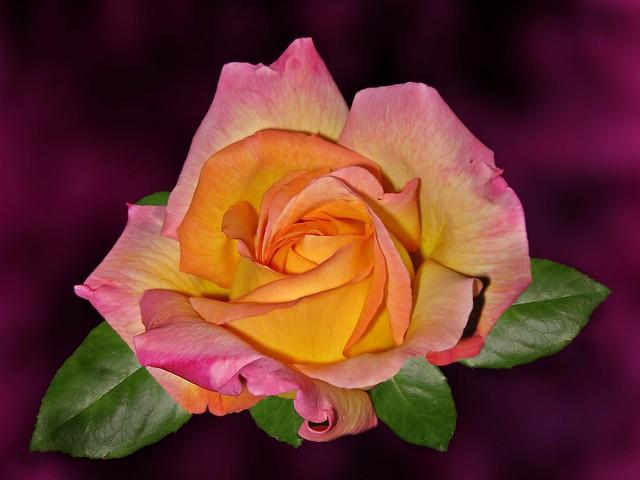 Обои фон, роза, лепестки, бутон картинки на рабочий стол, раздел цветы - скачать