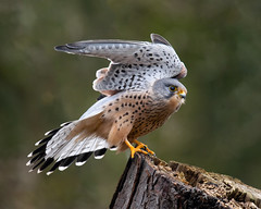 Wing Stretch (Susanne Leyh) Tags: kestrel commonkestrel turmfalke falke raubvogel bird birdofprey fauna wildlife nature natur naturephotography outside outdoors nikon nikkor 300mm