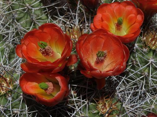 Mojave mound cactus, Echinocereus mojavensis