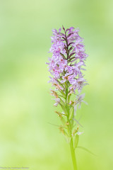 Fuchs' Knabenkraut (AnBind) Tags: 2018 technik orchideen wildeorchideen makro gesäuse nationalparkgesäuse nationalpark ngc coth5 austria österreich steiermark styria