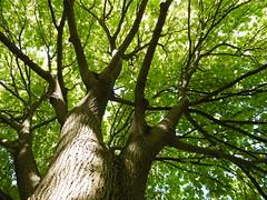 Fitzroy Garden Elm in summer (Mark Tindale) Tags: light trunk branch understorey green tree melbourne fitzroygardens