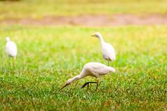 GARZETTE   ---   EGRETS (Ezio Donati is ) Tags: uccelli birds animali animals natura acqua water foresta forest fiume river westafrica costadavorio riverbandama tiassalearea