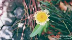 2nd Step Bunga Tempuyung / Sonchus Arvensis Flower (setiawanap) Tags: indonesia setiawanap setiawanapvlog tanaman tumbuhan daun bunga batang plants tree leaf flower tempuyung sonchusarvensis sonchus arvensis