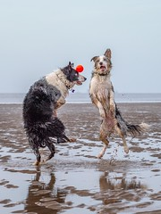 Heads (Chris Willis 10) Tags: will beach crosby dogs star dog pets animal canine outdoors retrieving purebreddog friendship water domesticanimals fun playing playful mammal sea bordercollie cute puppy