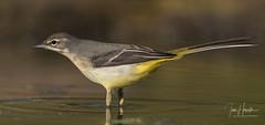 Grey wagtail (Ian howells wildlife photography) Tags: greywagtail ianhowells ianhowellswildlifephotography nature naturephotography wildlife wildlifephotography wales wild wildbird wildbirds