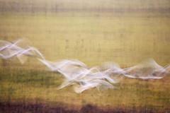 Flying ghost swans (yvonnepay615) Tags: panasonic lumix gh4 nature swans wwt welneywetlandtrust norfolk eastanglia uk coth coth5