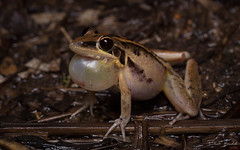 Striped Rocket Frog (Litoria nasuta) (elliotbudd) Tags: elliot budd frog frogs qld queensland townsville charters towers striped rocket litoria nasuta