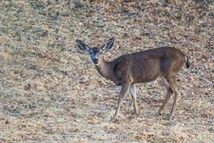 Black-tailed Deer (Allan Hack) Tags: sanjose california unitedstates us blacktaileddeer bernalgulnacjoiceranch animals wildlife hiking